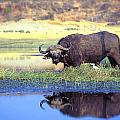 African Cape Buffalo, Photographed At Poster by John Pitcher