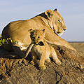 African Lion With Mother's Tail Poster by Suzi Eszterhas