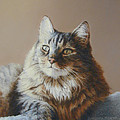 Alexi Maine Coon Poster by Barbara Groff