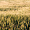 Amber Waves of Grain Print by Cindy Singleton