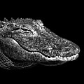 American Alligator Print by Malcolm MacGregor