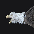American Bald Eagle Poster by Paul Ward