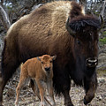 American Bison And Calf Print by Rob Daugherty - RobsWildlife.com