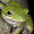 American Green Treefrog by Clay Coleman