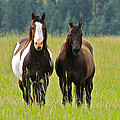 American Paint Stallion and Mare Poster by Karon Melillo DeVega