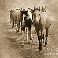American Quarter Horse Herd in Sepia Poster by Betty LaRue