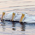 American White Pelicans Print by Bob Gibbons