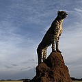An African Cheetah Guards Its Territory Print by Chris Johns