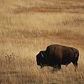 An American Bision In Golden Grassland Print by Michael Melford