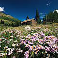 An Old Miners Cabin With Purple Asters Print by Richard Nowitz
