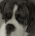 Angelic Boxer Poster by DigiArt Diaries by Vicky B Fuller
