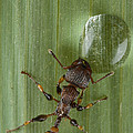 Ant Drinking From Water Droplet Papua Print by Piotr Naskrecki