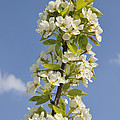 Apple blossom in spring Poster by Matthias Hauser