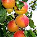 Apricots Print by Will Borden