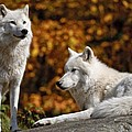 Arctic Wolves on Rocks Print by Michael Cummings