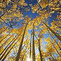 Aspen Tree Canopy 3 Poster by Ron Dahlquist - Printscapes