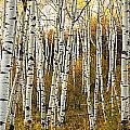 Aspen Tree Grove Poster by Ron Dahlquist - Printscapes
