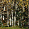 Aspens in the Fall Print by Timothy Johnson