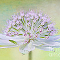 Astrantia Art Poster by Jacky Parker