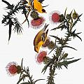 AUDUBON: GOLDFINCH Poster by Granger
