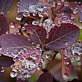 autumn Huckleberry leaves macro in autumn Poster by Ed Book