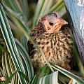 Baby Bird Hiding in Grass Print by Douglas Barnett