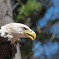 Bald Eagle at McLane Center Print by Peter Gray