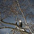 Bald Eagle In A Tree Print by Con Tanasiuk