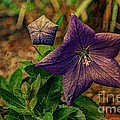 Balloon Flower - Antiqued Print by Michael Garyet