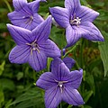 Balloon Flowers Print by Steve Augustin
