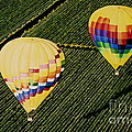 Balloons Over Napa Valley Poster by Cindy Lee Longhini