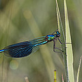 Banded Demoiselle Calopteryx Splendens Poster by Konrad Wothe