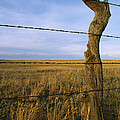 Barbed Wire Fence Along Dry Creek Road Print by Gordon Wiltsie