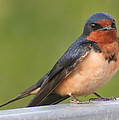 Barn Swallow Print by Laurel Talabere