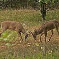 Battling Whitetails 0102 Print by Michael Peychich