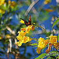 Beautiful Butterfly Print by Donna Van Vlack