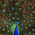 Beautiful Peacock Print by Larry Marshall