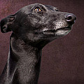 Beautiful Whippet Dog Print by Ethiriel  Photography