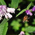 Bee in Flight Poster by Kaye Menner