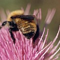 Bee on Thistle 102 Poster by Diane Backs-Mancuso