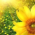 Big yellow sunflower  Poster by Sandra Cunningham