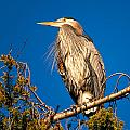 Birds of BC - No.7 - Great Blue Heron - Ardea herodias Print by Paul W Sharpe Aka Wizard of Wonders