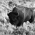 Bison in Black and White Poster by Sebastian Musial