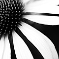 Black And White Flower Maco Print by Copyright Johan Klovsjö