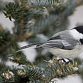 Black-capped Chickadee, Poecile Poster by John Cancalosi