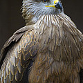 Black Kite 4 Print by Heiko Koehrer-Wagner