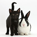 Black Kitten And Dutch Rabbit Print by Mark Taylor