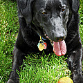 Black lab dog with a ball Poster by Elena Elisseeva