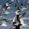 Black Skimmers Flock Print by Clarence Holmes
