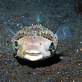 Black-spotted Porcupinefish Print by Georgette Douwma